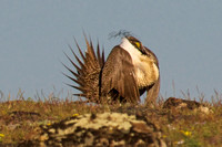 Sage_Grouse-07