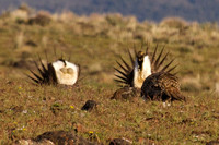 Sage_Grouse-08