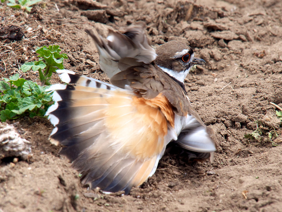 killdeer display