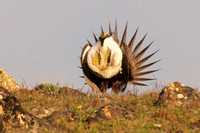 Sage_Grouse-06