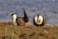 Sage_Grouse-10