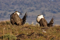 Sage_Grouse-09